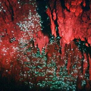 Waitomo-Caves-Glowworm-7